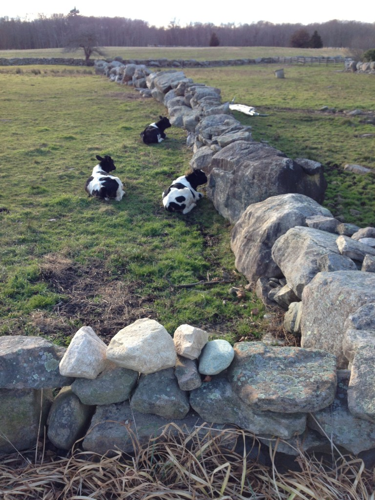 Peaceful scene-cows