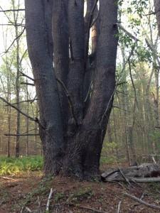 Huge White Pine